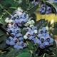 Herbert Blueberry