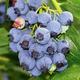 Jersey Blueberry