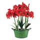 Three Mini Red Amaryllis Bulbs