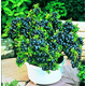 Top Hat Blueberry Potted Kit