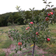 Dwarf Fruit Tree OrchardInABox