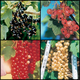 Colorful Currant Assortment