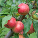 Chestnut Crabapple