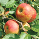 Coxs Orange Pippin Antique Apple