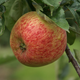 Duchess of Oldenberg Apple