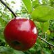 Early McIntosh Apple