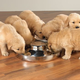 ProSelect Stainless Steel Puppy Dish 14.5In