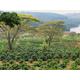 Zimbabwe AAA Pezuru Estate