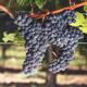 Brehm Fruit - Merlot - Carneros, Carneros AVA, Sonoma Valley, CA 2018