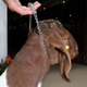 Chain Goat Collar with Rubber Grip 24 in
