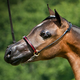 Ozark Triumph Mini/Pony Show Halter