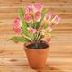 Tulip Bush