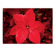 Christmas Poinsettia Card - Set Of 20