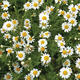 Flower Mat, Ground Cover, Roman Chamomile 17
