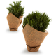 Rosemary Trees in Burlap, Set of 2