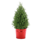 Holiday Rosemary Topiary Cone, 6½