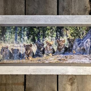 Lions in barn wood frame hung in rustic wood cabin