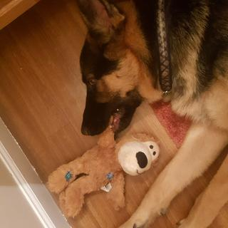 """Duke loves his stuffed animals. Finally found one that is tuff enough to make it through his """"love""""."""