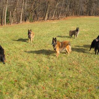 My 6 Fur Girls Belgian Sheepdog and 5 Belgian Tervurens.  Funn, Fun, Fun, everyday.  Love them all.