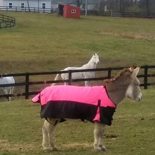 Fred, the mini-donkey enjoying his new Tough-1 600D Miniature Turnout Blanket.