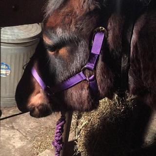 The purple average sized halter (Which is quite snug)