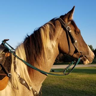 This is Docs Dun N Chrome sporting the Blue/Black reins I purchased.