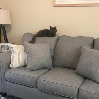 Shadow loves my new couch and has found his spot.