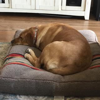This is the 2nd bed for my fox red lab. She loves it as u can tell. Great price. Pat L from Belmont.