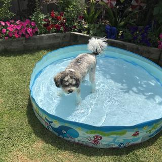 Wilson enjoying his pool, he spends all day hopping in and out, perfect size for him