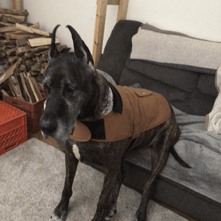 Gus Loves his XL Carharrt Chore Coat.  It is just what a Great Dane needs for a Pennsylvania Winter!