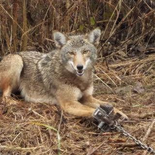 These a fantastic coyote traps!