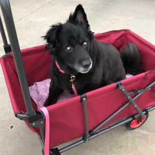 My senior. dog Lola, who is also blind, loves her wagon rides around the neighborhood!
