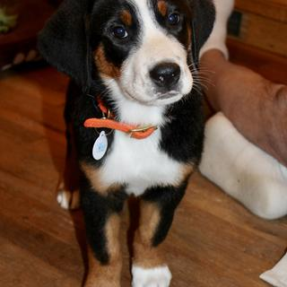 Greater Swiss Mountain Dog Puppy, 10 Weeks