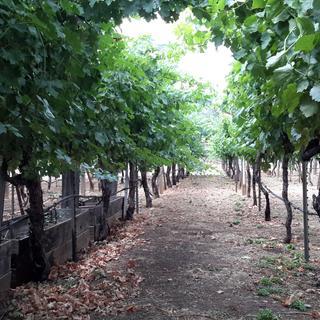 Rows of Old Vine Zine