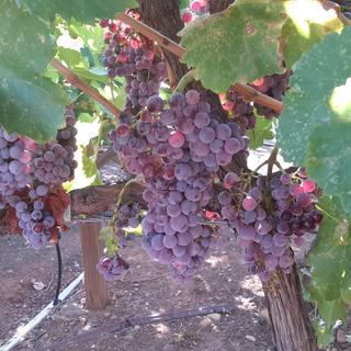 Clusters of old vine