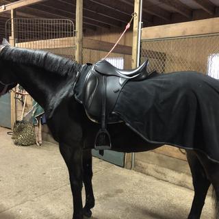 Rosie 5 year old warmblood mare 16h