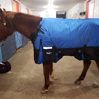 Arabian in blanket