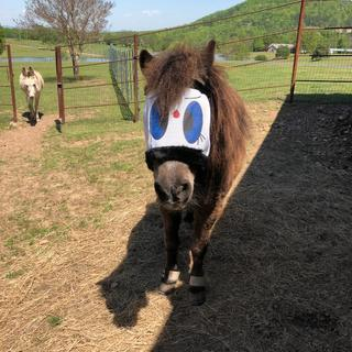 28 yr old Shetland Pony loves hers too