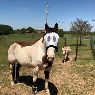22 yr old Paint horse loves his fly mask