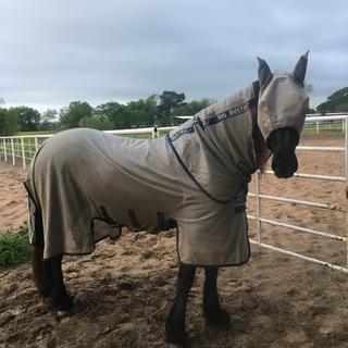 Friesian mare Maaike fan Pleasant Hill in her new bug buster sheet.