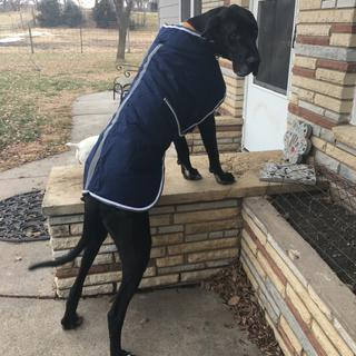 Gus a 180lb Great Dane loves his WeatherBeeta! Fits him perfectly & keeps him warm in cold Midwest