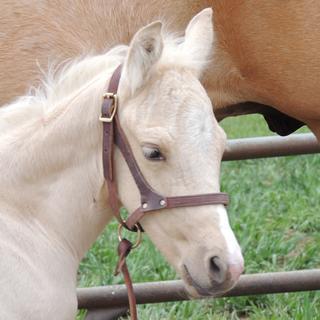 Three day old AQHA foal by Walla Whiz Affair