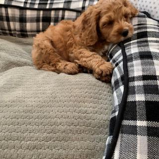 Finn as a brand new puppy taking a nap