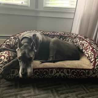 170lb Great Dane maxin and relaxing.