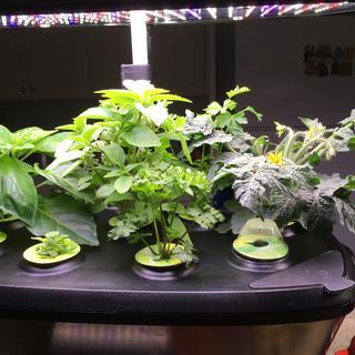 More herbs and a mini-tomato plant