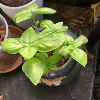 This is after taking Basil out of the garden and put into clay pots. They are all doing well
