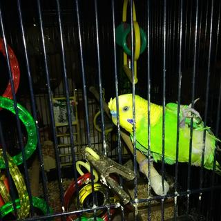 My pet parakeet Nessa acting goofing actually wanted some fruit love him very much