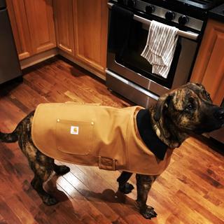 Gordie likes his new @carhartt chore coat