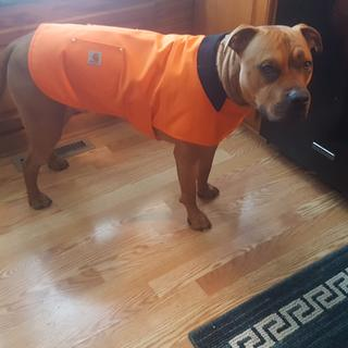 Here he is so comfy and proud in his Carhartt Orange!