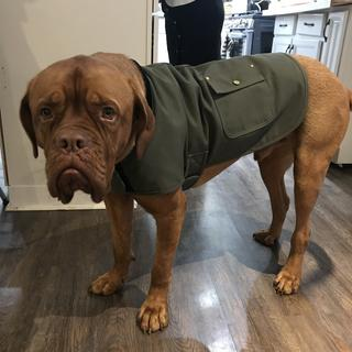 Big doggo loves his new coat!